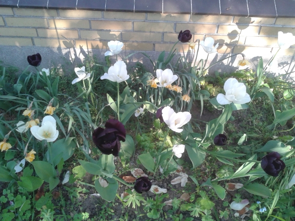 tulipaner set forfra