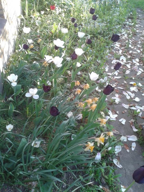 tulipaner set fra siden